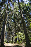 Tall trees, small forest royalty free stock photos