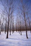 Tall trees in snowy orchard. Stock Photo