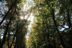 Tall trees with the sunlight streaming. Through the branches Stock Images