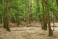 Tall trees temperate forests Stock Photo
