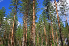 Tall trees temperate forests Stock Image
