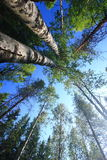 Tall trees temperate forests Stock Photos