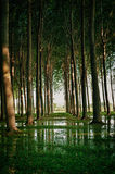 Tall trees in a tree farm are reflected in water. Tall trees in a tree farm are reflected in water pooling on the ground Royalty Free Stock Images