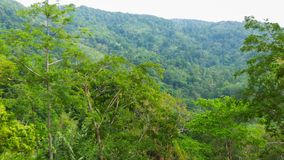Tall trees in the tropical jungle stock video footage