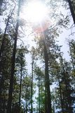 Tall Trees Under Sunny Sky during Daytime Royalty Free Stock Photos