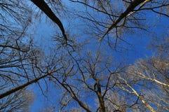 Tall Trees Royalty Free Stock Photography