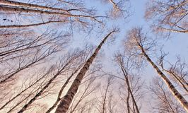 Tall trees in winter. Looking up tall bare birch trees in winter Stock Photo