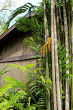 Tall, tropical trees with large leaves leaning against old,wood building Royalty Free Stock Photos