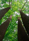 Tall tulip tree. Photograph of tall tulip tree taken from the very bottom to emphasize power of nature Stock Photos