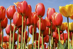Tall Tulips. Bright red and yellow tulips standing tall in the sun stock image