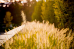 Tall Unique Grass and Sun Royalty Free Stock Photos