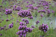 Tall Verbena. Small tiny clusters of purple flowers growing in a meadow Stock Photo