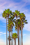 Tall Vertical Palm Trees Royalty Free Stock Photos