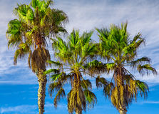 Tall Vertical Palm Trees Stock Images
