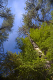 Tall and Vibrant Evergreen Forest stock images