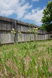 Tall Weeds. Have taken over this yard as the grass grows. The flowering weeds are many inches high, and they are highlighted against the wooden fence on a sunny Stock Image