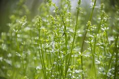Tall wild grass growing in a meadow royalty free stock image