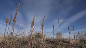 Tall Western Weeds In Windy Sun stock footage