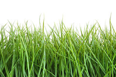 Tall wet grass against a white Stock Photography