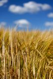 Tall Wheat Barley Crop Plants with Blue Sky Royalty Free Stock Photo