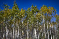 Tall White Birches with colorful leaves & blue sky, Yukon stock images