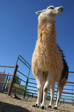 Tall white and brown llama Royalty Free Stock Photography