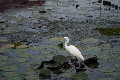 A tall white great egret (Ardea alba) stands on a water with its head and s-curve neck in profile. Royalty Free Stock Image