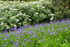 Tall white rhododendrons above a groundcover of bluebells Stock Photography
