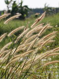 Tall wild light brown yellow grass flowers in the wind Royalty Free Stock Photography