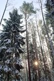 Tall winter trees Stock Photography