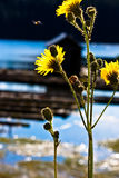 Tall Yellow Flowers Royalty Free Stock Images