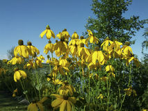 Tall yellow flowers blooming in august Stock Images
