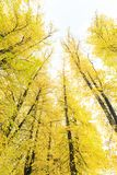Tall golden autumn trees in forest Royalty Free Stock Images