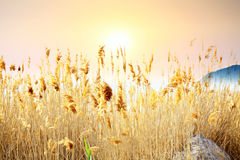 Tall yellow grass against background of orange sunset Stock Photography
