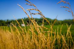 Tall Yellow Grass. In front of soybean field on a sunny summer day with clear blue sky, LaPorte, Indiana royalty free stock photo