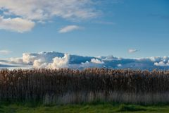 Tall yellow grass under a dramatic blue sky. A graphic landscape of tall yellow grass under a dramatic blue sky with amazing cloud formations in the background Stock Photos