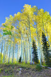 Tall yellow and green aspen during foliage season Stock Photo