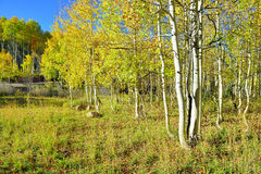 Tall yellow and green aspen during foliage season Stock Images