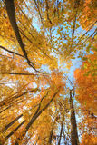 Tall yellow trees in forest. Autumn has come and all trees and bushes in forest became yellow and orange Stock Images