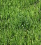 Tall young grass stock image
