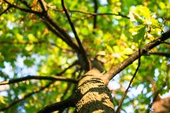 Tall young oak tree with lush crown branched trunk. Vibrant colors of early autumn and tender sunlight evokes admiration and inspire for the best, filling the Royalty Free Stock Images