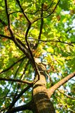 Tall young oak tree with lush crown branched trunk. Vibrant colors of early autumn and tender sunlight evokes admiration and inspire for the best, filling the stock photography