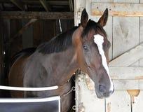 Talladega, Biały blasku koń wyścigowy zdjęcia royalty free