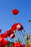 Taller poppy Royalty Free Stock Photos