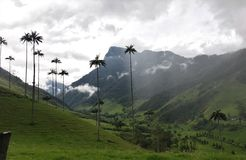 Tallest Palm trees In the world Royalty Free Stock Image