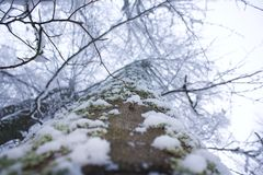 Tallest tree ever. Covered with snow Stock Photos