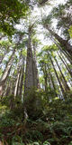 Tallest trees ever Stock Images