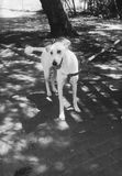 Tallest white dog. White young domestic cute tallest dog in park looking funny Royalty Free Stock Photos
