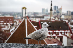 Tallinn, Estonia oldtown view with seagull from Toompea hill. Royalty Free Stock Photography