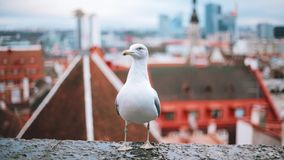 Tallinn, Estonia. White Seagull On Viewing Platform And Old Town On Background.  stock footage